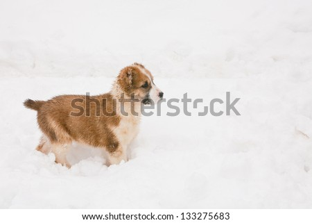 A white and brown central asian puppy walking in snow