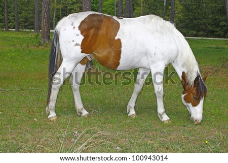A white and brown Equine coated horse with a blue eye grazing in the field with room for your text. - stock photo