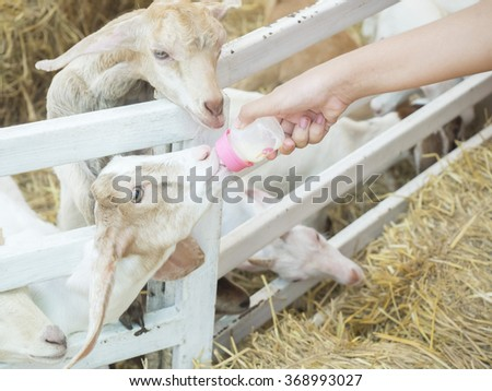 A white baby goat against milk