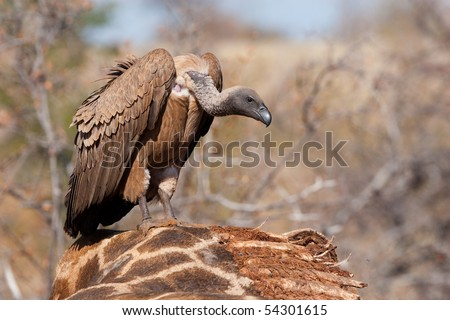 A white-backed vulture sitting on a giraffe carcass