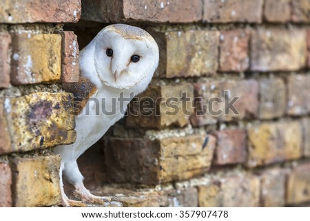 A white Barn Owl looking out from its hole in a wall - stock photo