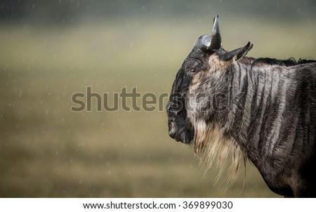 A White Bearded Wildebeest standing in the rain in the Ngorongoro Crater - stock photo