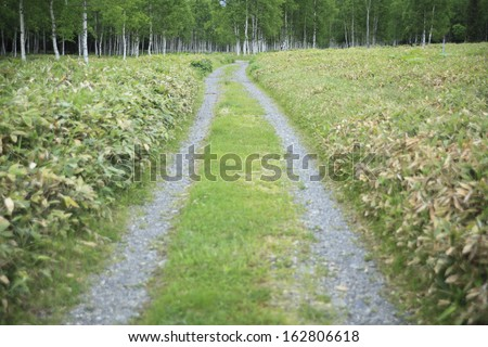 A white birch wood and a way - stock photo