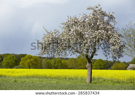 A white blooming fruit tree into a landscape in sunlight and a dark sky. A yellow blooming colza field is located in the background. - stock photo