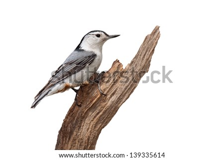 A white-breasted nuthatch poses confidently on a piece of driftwood. The multi colored blue wing feathers contrast prominently against its white breastplate and orange rump. White background.