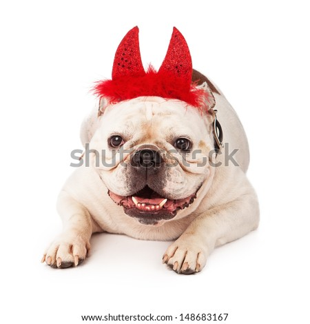 A white Bulldog laying against a white backdrop wearing red devil horns with feathers
