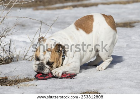 A white bulldog playing with a toy in the snow  - stock photo
