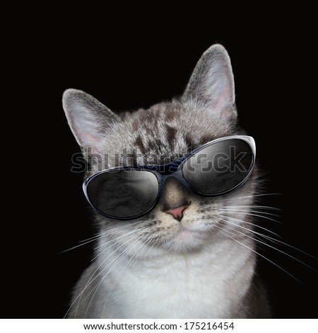 A white cat is wearing sunglasses on an isolated black background for a humor or entertainment concept. - stock photo