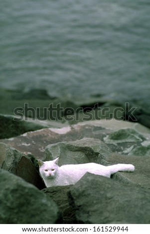 A white cat on a bed of rocks. - stock photo