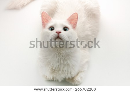 A white cat with blue eyes laying on a white background looking up to the camera