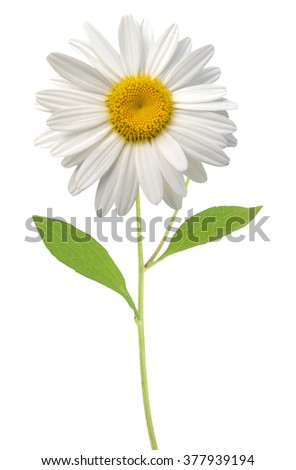A white chamomile flower - stock photo