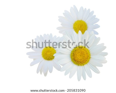 A white chamomile flowers  - stock photo