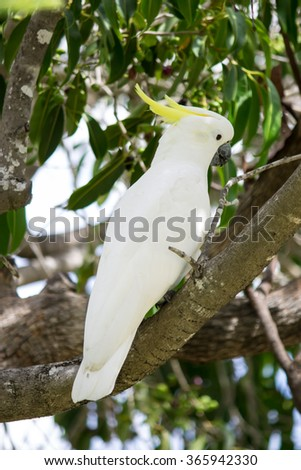 A White Cockatoo sitting in a tree