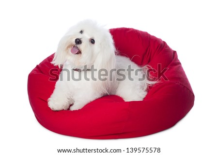 A white Coton de Tulear dog, lying on a red bean bag. This rare breed is related to the Bichon Tenerife and Tenerife Terrier. Shot in the studio and isolated on a white background. - stock photo