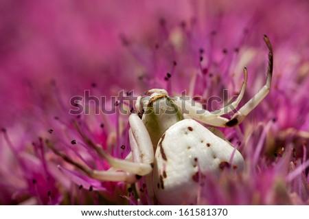 A white crab spider waits to ambush prey. - stock photo