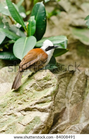 a white-crested laughingthrush sitting on a rock