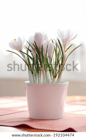 A white crocus in white flower pot - stock photo