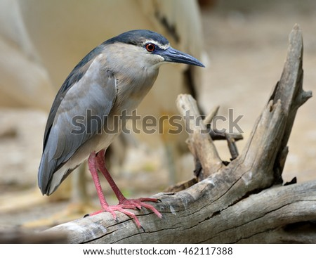 A White-crowned night heron perching on the log waiting to fishing in the pond, beautiful grey bird