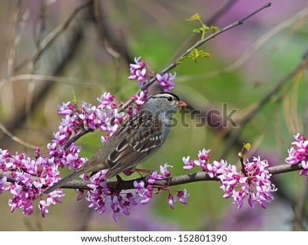 A white crowned sparrow perched on the pink buds of a redbud tree. - stock photo