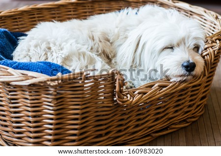 A white dog sleeping in is wicker bed - stock photo