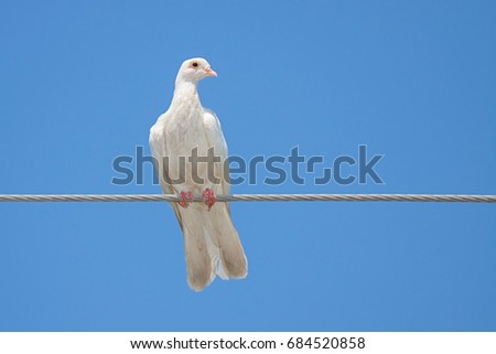 A white dove perched on a wire with a completely blue sky as the background.