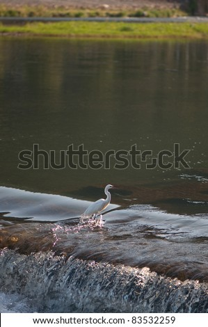 A white egret fishing on a river in Kyoto, Japan. - stock photo
