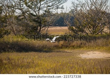 A white egret flying across grass in a wetland marsh - stock photo