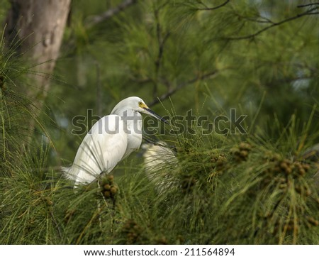 A white Egret roosts in a tree. - stock photo