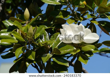 A white flower blooming in a magnolia tree in Australia - stock photo