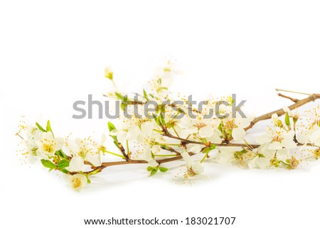 a white fruit tree sprig on white background