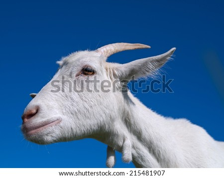 A white goat on grass background. Symbol of 2015 New Year.