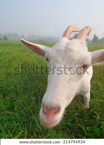 A white goat on grass background. Symbol of 2015 New Year. Funny face.