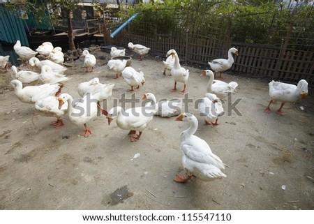A white goose - stock photo