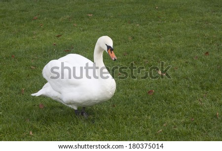 A white goose on green grass at France. - stock photo