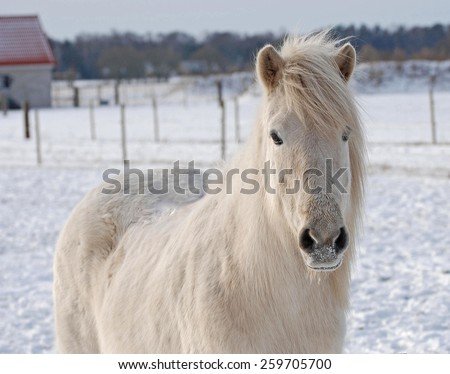 A white Icelandic horse in the winter. - stock photo