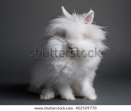 A white lion head bunny on a grey background.