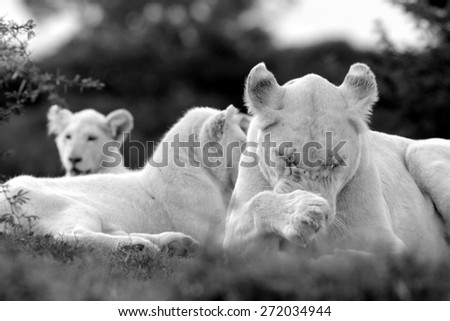 A white lion pride in south africa. Female, male and cubs. - stock photo