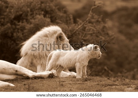A white lioness and a big male lion share a tender loving moment with one of the young cute baby white lion cubs. Taken on safari in South Africa, Eastern Cape - stock photo