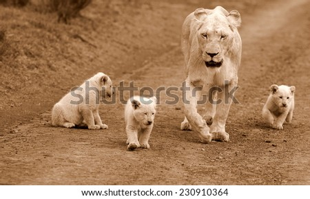 A white lioness and her young cubs. - stock photo
