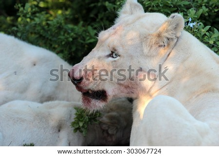 A white lioness full of blood after a kill. South Africa - stock photo