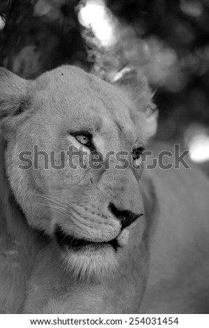 A white lioness in black and white - stock photo