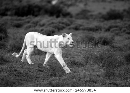 A white lioness looking intensely with her eyes in this beautiful sepia tone  close up photo of her face. This was taken at Pumba game reserve,eastern cape,south africa - stock photo
