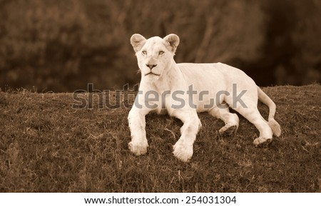 A white lioness lying on a grass bank stares at the camera with her intense blue eyes. - stock photo