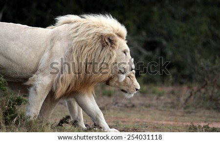 A white lioness shares a tender loving moment with one of the young cute baby white lion cubs. Taken on safari in South Africa, Eastern Cape - stock photo