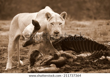 A white lioness stares at the camera while feeding on a zebra she killed. - stock photo