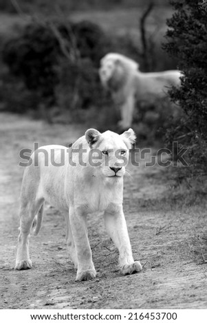 A white lioness walks towards the camera while a big male stands in the background. - stock photo