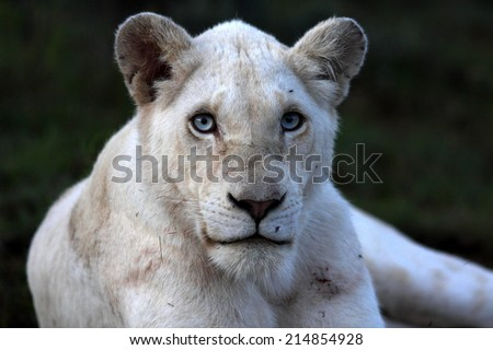 A white lioness with intense eyes in this photo. - stock photo