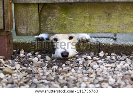 A white little sad dog waiting for his owners to come back. - stock photo