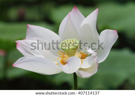 A white lotus flower blossom among green foliage