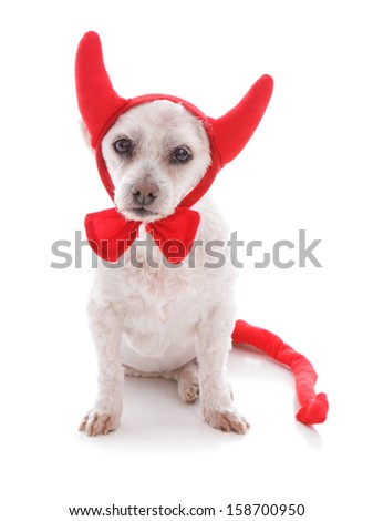 A white pet dog wearing red velvet devil horns, tail and bow tie.  Concept, halloween or party costume.  White background. - stock photo